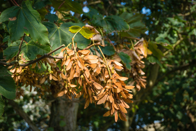 Sycamore seeds poisoning horses: Atypical Myopathy