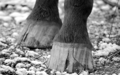 How grass management can prevent Laminitis