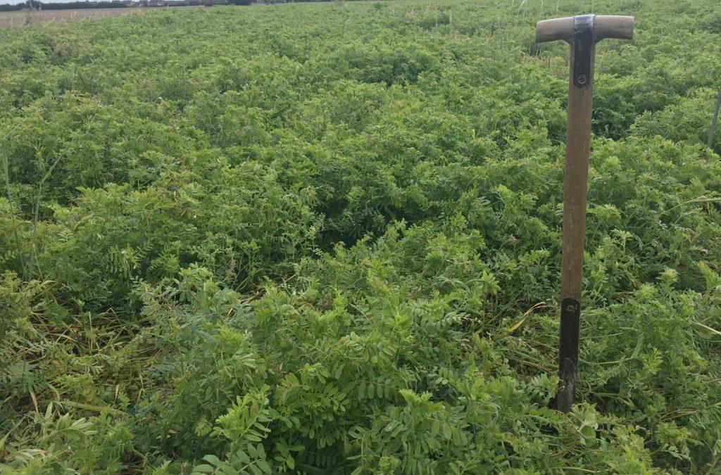 vetch rye cover crops