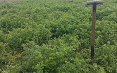 COVER CROPS: restructure soil or tackle black grass