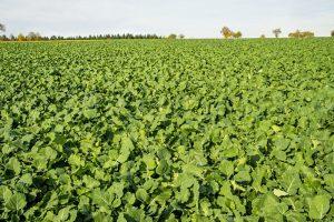 Cover crops radish